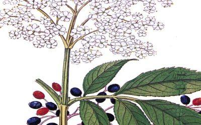 Sambucus – Elderberry
