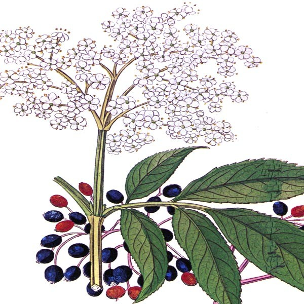 Sambucus – Elderberry
