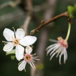 HLCherryPlumBlossom1