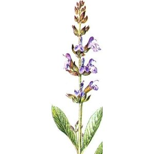Salvia or Sage